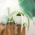 Paper Spider Plant